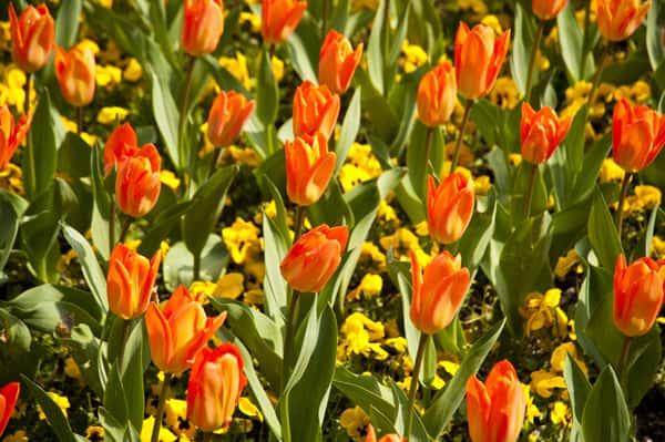 tulips_MJZeF4qO.jpg